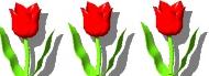 Tulipes 31