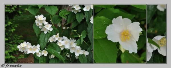 Chinon - fleur - diptyque