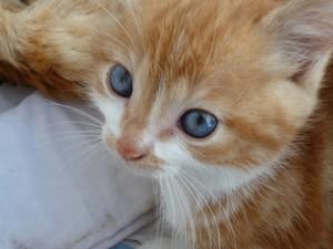 Chat roux x300